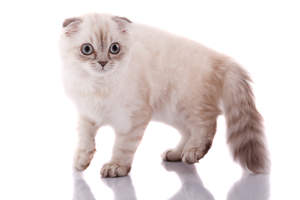 An adorable scottish fold kitten