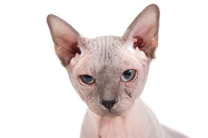 A Sphynx cat with large ears