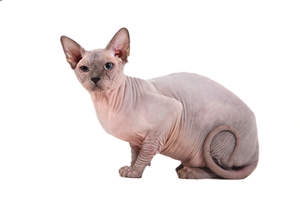 A young alert Sphynx cat