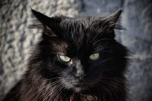 A black Tiffanie cat