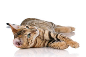 A Toyger is a domestic cat designed to look like a tiger