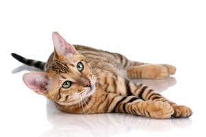 A happy Toyger lolling