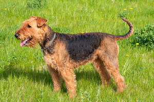 A healthy, young adult Airedale Terrier showing off it's wiry coat