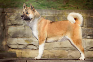 A powerful looking akita with a fantastically curled bushy tail