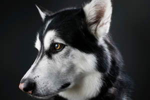 A close up of an Alaskan Malamute's beatiful eyes
