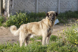 A beautiful Anatolian Shepherd Dog, showing off it's wonderful, strong body