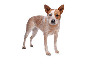 A young, brown and white Australian Cattle Dog