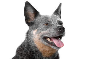 The characteristic pointed ears of the Australian Cattle Dog