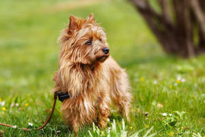 A lovely australian terrier with a floppy ginger coat