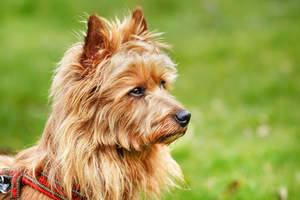 A lovely little australian terrier with alert pointy ears