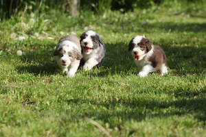 Three beautiful, little Bearded Collie puppies, running around on the grass