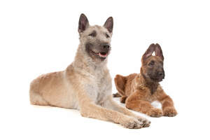 A young and adult Belgian Shepherd Dog (Laekenois) lying next to each other