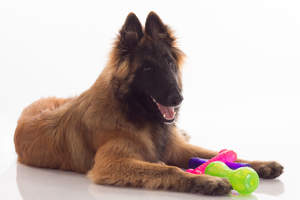 A young Belgian Shepherd Dog (Tervueren) lying down with his toys