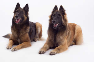 Two Belgian Tervurens enjoying each others company
