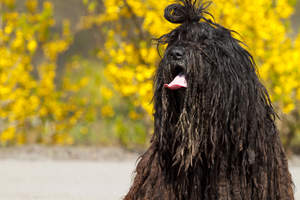 A hairy bergamasco with his hair tied in a bunch
