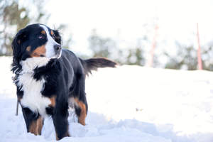 An adult Bernese Mountain Dog enjoying some exercise in the snow