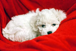 A wonderful, little Bichon Frise puppy curled up in a blanket