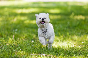 A young, healthy Bichon Frise bounding across the grass