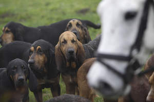 A pack of Bloodhounds out on a hunt with the horses