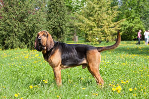 An adult male Bloodhound showing off his wonderful, long body