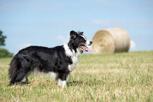An adult Border Collie showing off it's nimble physique