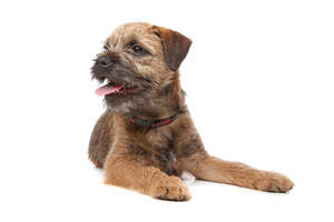 A young adult Border Terrier with a slightly longer wiry coat