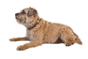 An adult Border Terrier with a long and thick coat