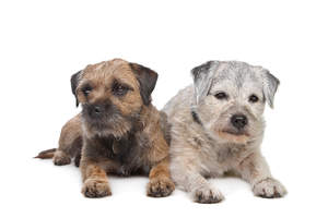 Two Border Terriers lying together, old and young