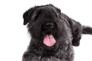 The handsome face of a Bouvier Des Flandres lying down