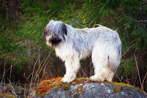 A Briard standing on a rock, showing off it's wonderful long fringe