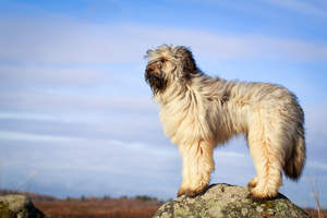 A healthy adult Briard standing tall, showing off it's thick soft coat