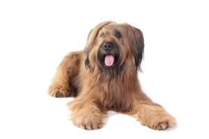 An adult Briard with a lovely straight coat lying down
