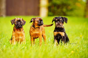 Two wonderful little Brussels Griffons sitting patiently with a friend in the middle
