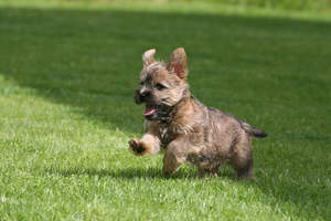 A lovely, little Cairn Terrier playing on the grass