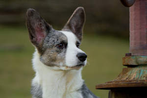 A close up of a Cardigan Welsh Corgi's beautiful, big ears