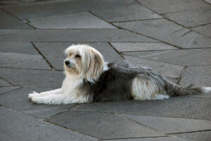 A long haired Catalan Sheepdog lying beautifully