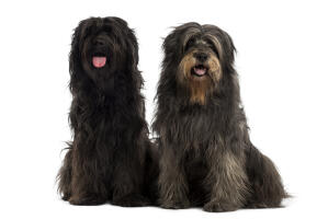 Two adult Catalan Sheepdogs enjoying each others company