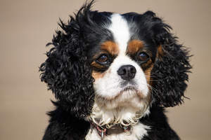 A Cavalier King Charles Spaniel's beautiful, scruffy ears