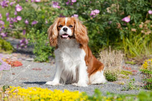 A healthy, little Cavalier King Charles Spaniel with a traditional style coat