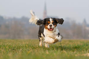 A lovely, little Cavalier King Charles Spaniel enjoying some exercise