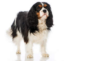 A mature adult Cavalier King Charles Spaniel with a lovely, long coat