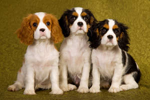 Three little Cavalier King Charles Spaniel's sitting patiently