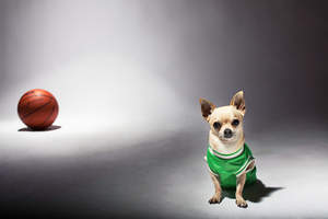 A little chihuahua dressed in a basketball top
