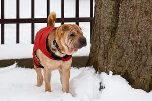 A Chinese Shar Pei with a beautiful, wrinkly face and bushy tail