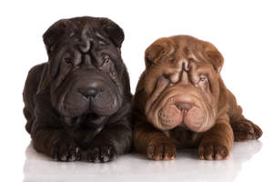 Two lovely young Chinese Shar Peis enjoying each others company
