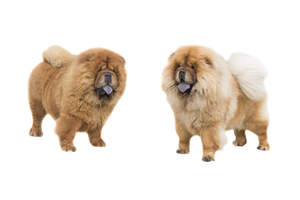 Two lovely thick coated Chow Chows with big bushy tails
