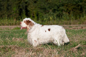 A healthy adult Clumber Spaniel with a long, thick coat