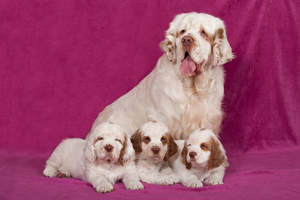 A mother Clumber Spaniel with her three beautiful puppies