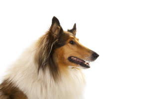 A close up of a Collie's lovely, long nose and pointed ears