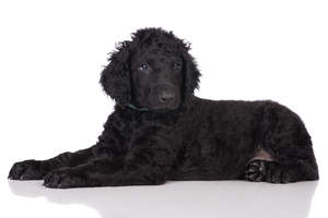 A beautiful, young black Curly Coated Retriever lying down